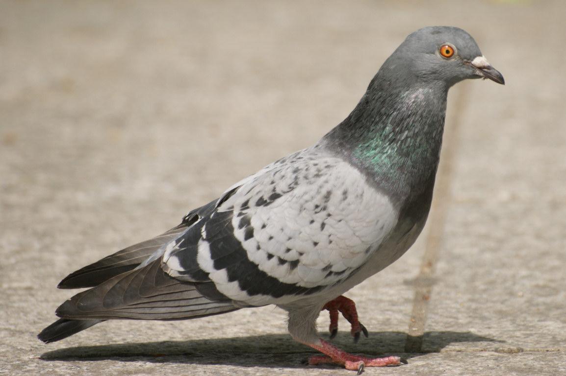 Photo-Pigeon-8